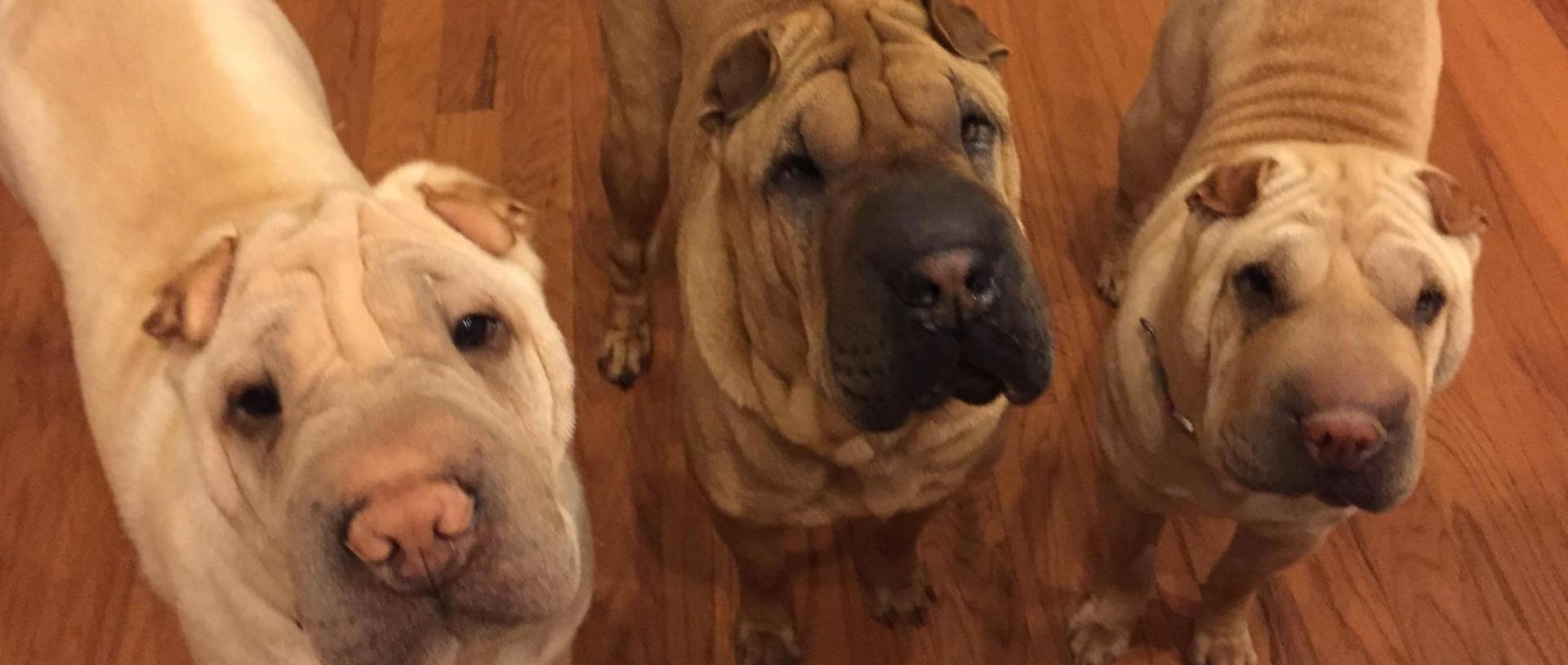 Home Shar Pei Rescue Of Virginia Adopt Foster Donate Volunteer To Help A Shar Pei