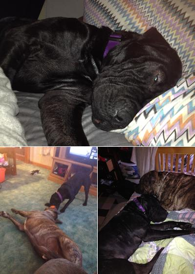 Shar-Pei Picture - Amy