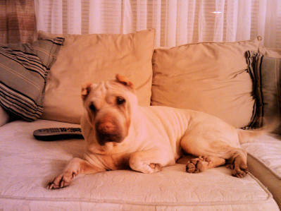 Chinese Shar Pei Pictures - Bella