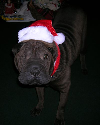 Shar-Pei Picture - Bindi