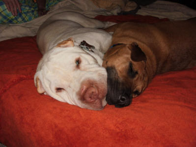 Chinese Shar Pei Pictures - Katie and Brutus