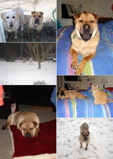 Chinese Shar Pei Pictures - Bucky