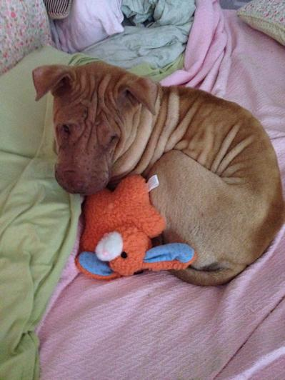 Shar-Pei Picture - Cheddar