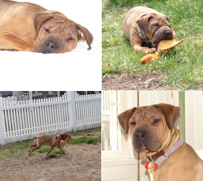 Chinese Shar Pei Pictures - Chloe