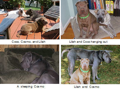 Shar Pei Pictures - Coco and Lilah