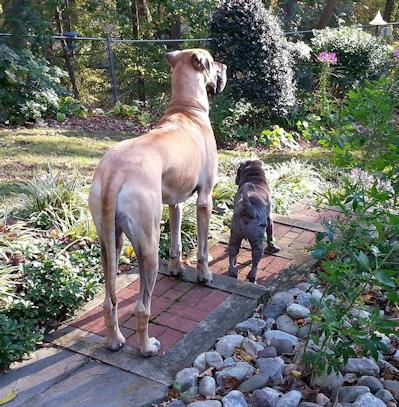 Chinese Shar Pei Pictures - Diesel