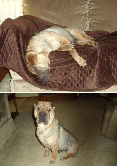 Shar-Pei Picture - Gee