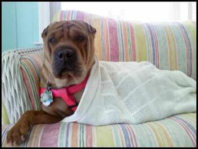 Chinese Shar Pei Pictures - Isamu