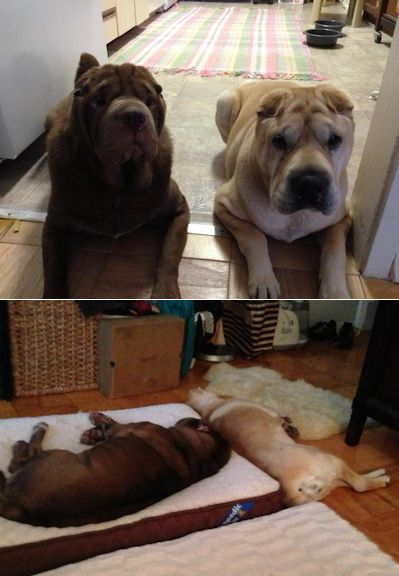 Shar-Pei Picture - Jazzy