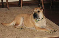 Chinese SharPei Pictures - Juno
