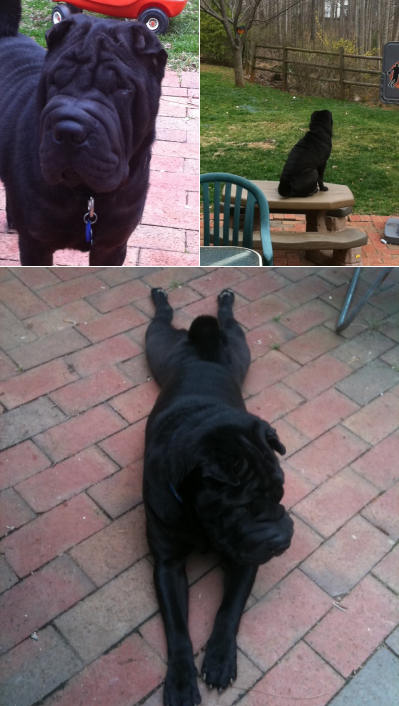 Chinese Shar Pei Pictures - Kobe