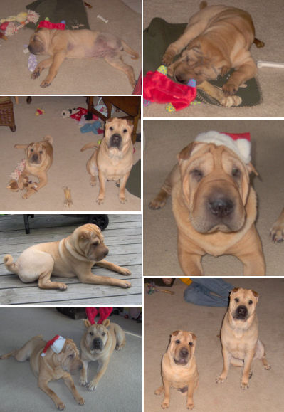 Shar Pei Pictures - Molly and Rooney