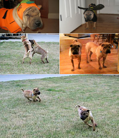 Chinese Shar Pei Pictures - Shep and Shea