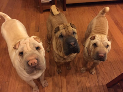 Chinese Shar-Pei Snowy, Cassie and Ella