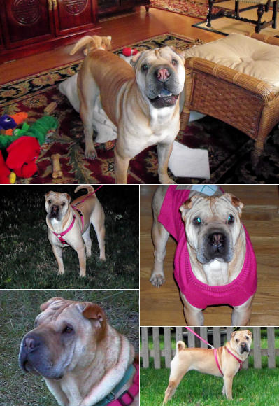 Chinese Shar Pei Pictures - Sophia