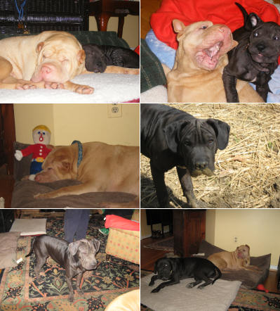 Chinese Shar Pei Pictures - Sunny and Baby Milo