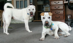 SharPei Pictures - Cocie and Toby
