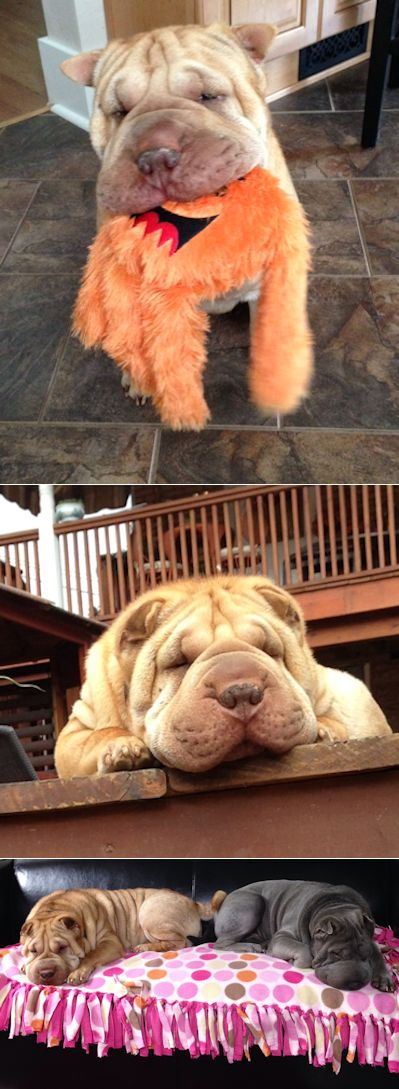 Shar-Pei Picture - Vincent