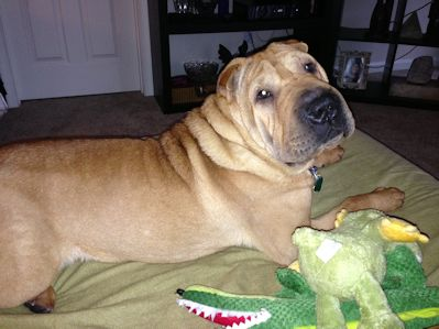Shar-Pei Picture - Washington