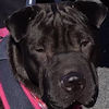 Shar-Pei for Adoption