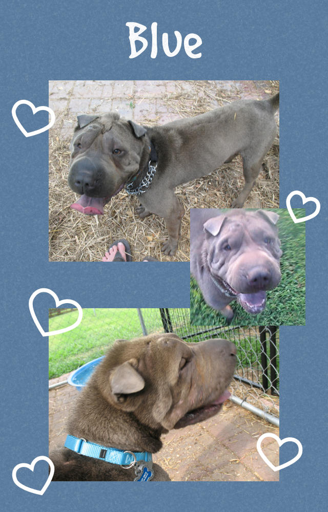 Male Shar-Pei - Billy Jack
