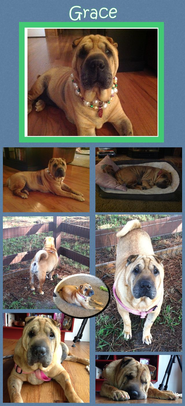 Chinese Shar-Pei - Grace