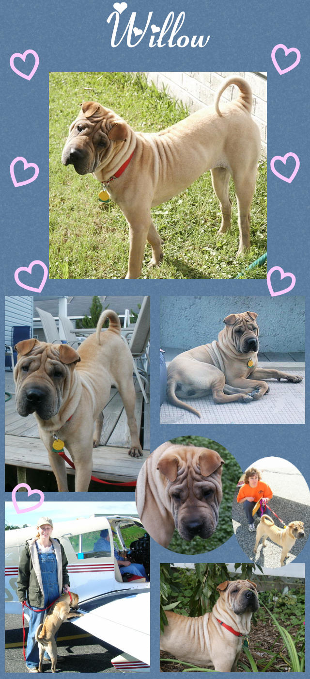 Chinese Shar-Pei - Willow