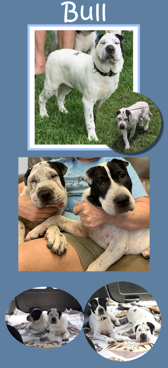 Bull Flowered Male Chinese Shar Pei Mix Adopted From Shar Pei Rescue Of Virginia