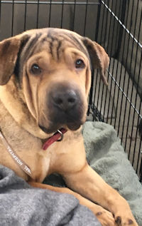 Jax - Male Shar-Pei Mix
