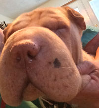 Female Shar-Pei - Millie