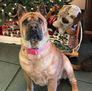Myrlie - Female Prick-Eared Shar-Pei