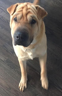 Parker - Fawn Male Shar-Pei